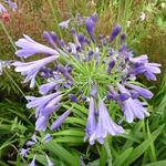 Agapanthus Jacks Blue (1)