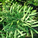 Mahonia fortunei (1)
