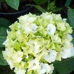 Hydrangea macrophylla Jade