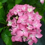 Hydrangea macrophylla Pia