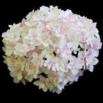 Hydrangea macrophylla Peace