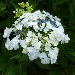 Hydrangea macrophylla Trophée (2)