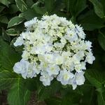 Hydrangea macrophylla Trophée (1)