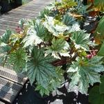 Begonia Silver Splendor