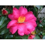 camellia%20hiryu