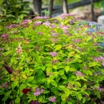 Spiraea japonica Big Band (4)