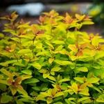 Spiraea japonica Big Band (2)