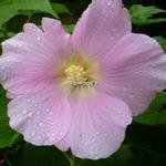 Hibiscus mutabilis Rosea