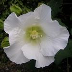 Hibiscus mutabilis Alba