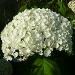 Hydrangea arborescens Incrediball (4)