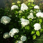 Hydrangea arborescens Incrediball (5)
