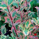 Weigela Magical Rainbow (2)