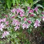 Weigela praecox Variegata (2)