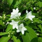 Weigela hortensis Nivea (1)