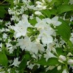 Weigela hortensis Nivea