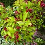 Weigela florida Aurea (3)