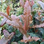 Photinia Crunchy (2)