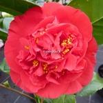 Camellia Kramer Supreme