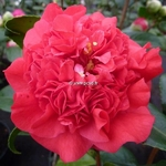 Camellia japonica Kramer Supreme