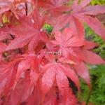Acer palmatum Osakazuki (6)