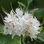 Rhododendron AC Fragrant Star