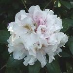 Rhododendron x yakushimanum Porzellan