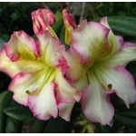 Rhododendron x Melrose Flash (1)