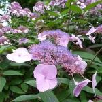 Hydrangea aspera Villosa (1)