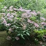 Hydrangea aspera Villosa (2)