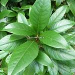 Hydrangea seemanii (1)