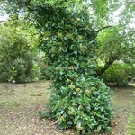 Hydrangea seemanii (2)