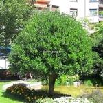 Pittosporum tobira (4)