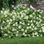 Hydrangea quercifolia Snowqueen (2)