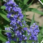 Vitex agnus-castus Blue Puffball