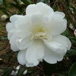 Camellia sasanqua Fuji no Yuki (2)