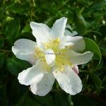Camellia sasanqua Frosted Stars