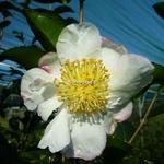 Camellia sasanqua Pink Snow (1)