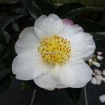 Camellia sasanqua Pink Snow