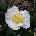 Camellia sasanqua Pink Snow (3)