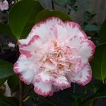Camellia Margaret Davis (5)