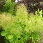 Cotinus coggygria Aurea (6)