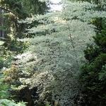 Cornus alternifolia Argentea (1)