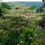 Cornus alternifolia Argentea