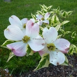 Cornus florida Pink Flame (2)