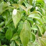Cornus honkongensis (1)