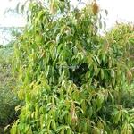 Cornus hongkongensis (3)
