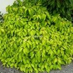 Cornus sericea Kelsey Gold