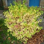 Cornus sanguinea Winter Beauty (2)