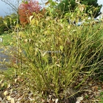 Cornus sericea Flaviramea (2)