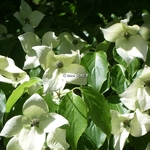 Cornus kousa China Girl (3)
